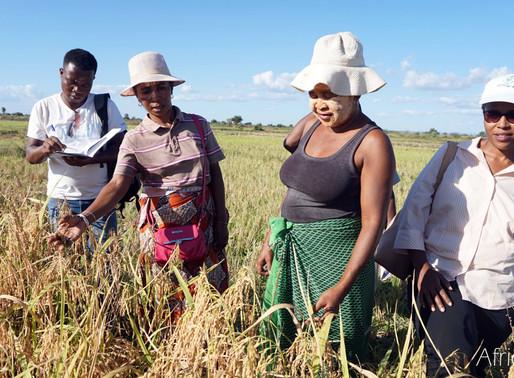 Vers une autosuffisance en riz à Madagascar : AfricaRice et ses partenaires concourent à l'augmentat