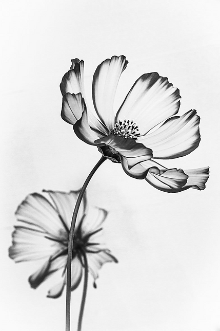 Ethereal image of Cosmos flowers wins ph