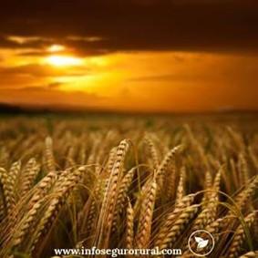 O seguro agrícola é como outras formas de seguro?