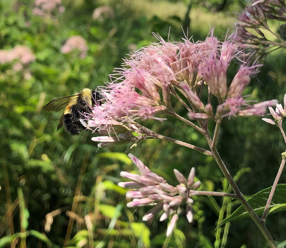 male rusty patched bumble bee, note the absence of pollen sacks