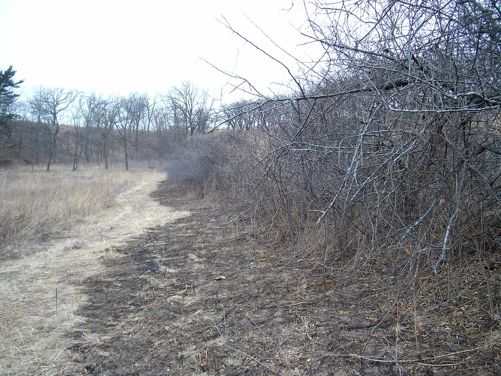Close up - shows fuel mowed and then burned next to thicket.