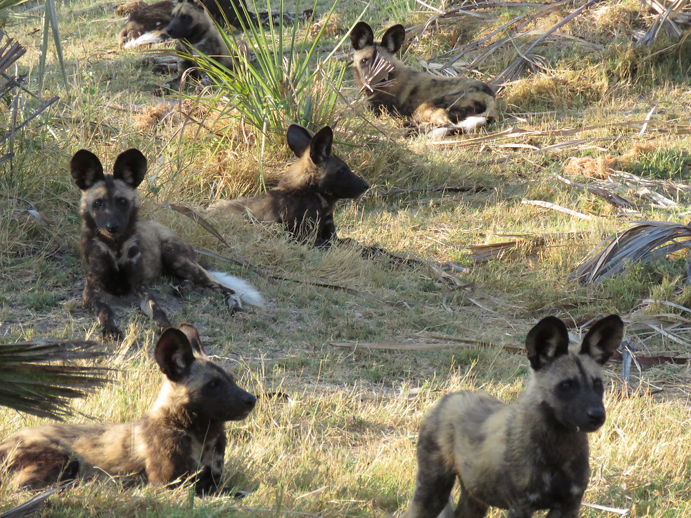 African wild dogs, endangered - photo by Debra Noell