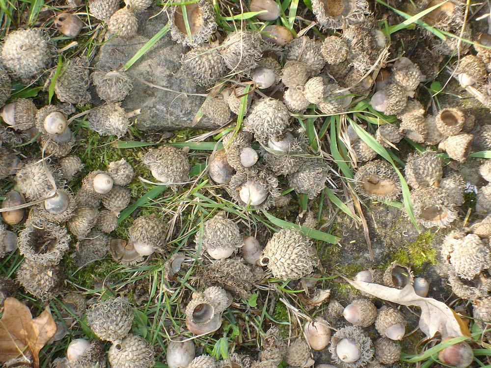 bur oak acorns