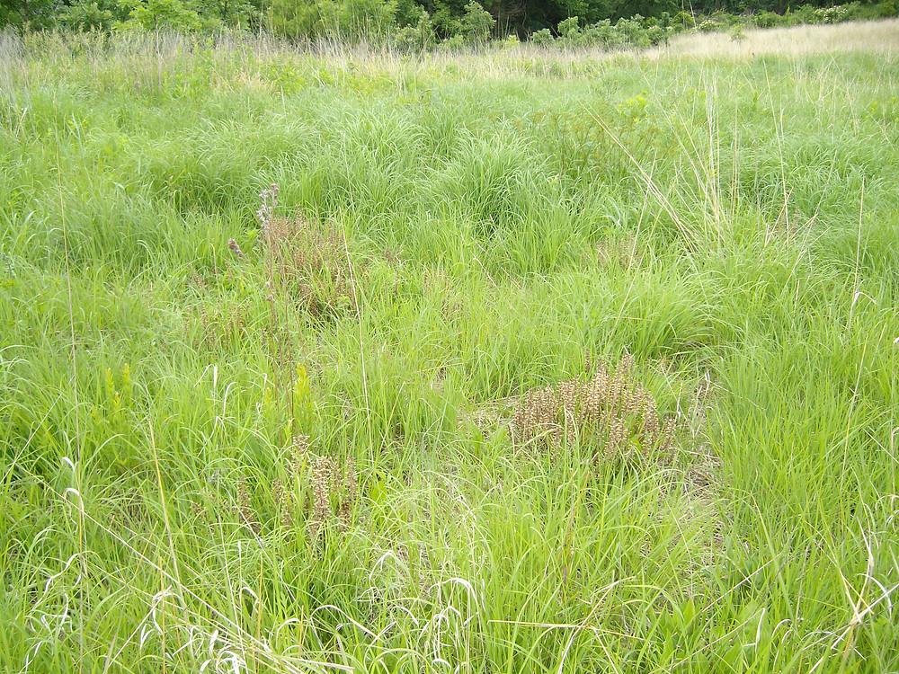 Wood betony parasitizing grasses.