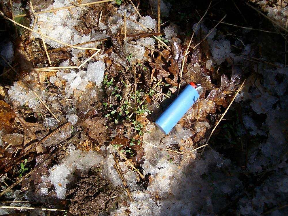 Winter Garlic Mustard Seedlings