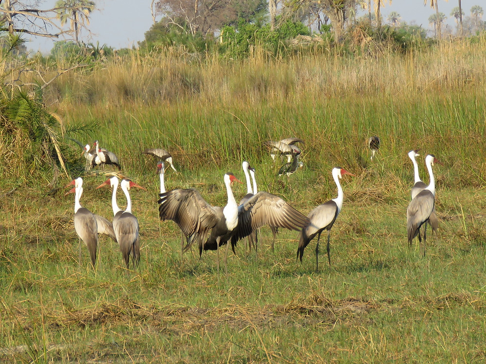wattled cranes, endangered - photo by Debra Noell