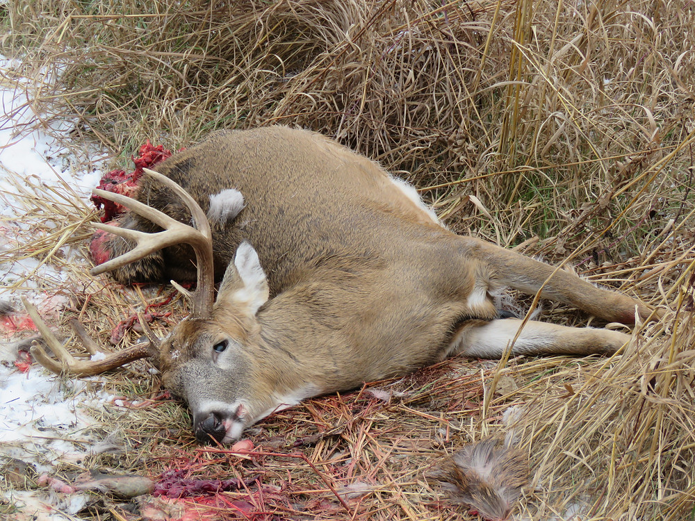 wounded whitetail deer killed by coyotes