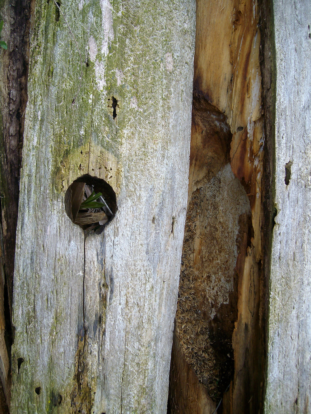 Close up of one of the woodpecker cavities.
