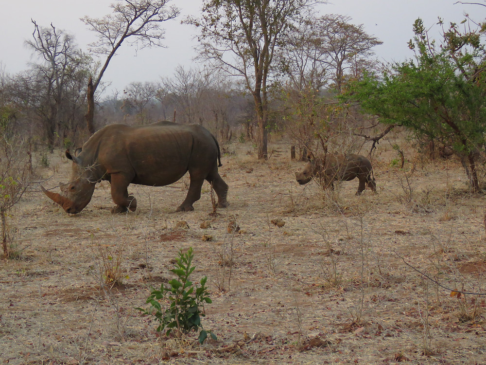 white rhinos - photo by Debra Noell