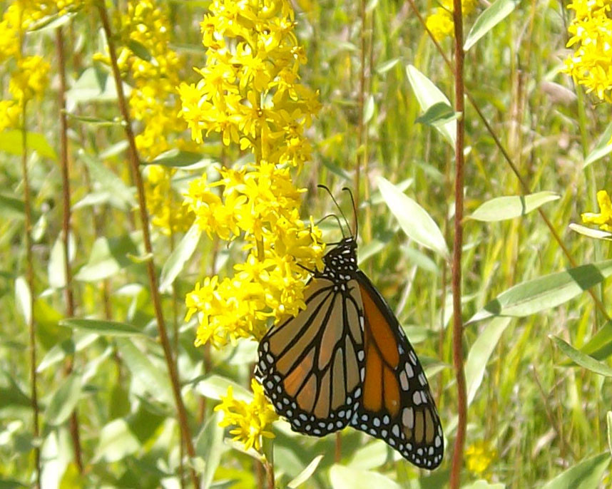 Monarch butterfly on showy goldenrod