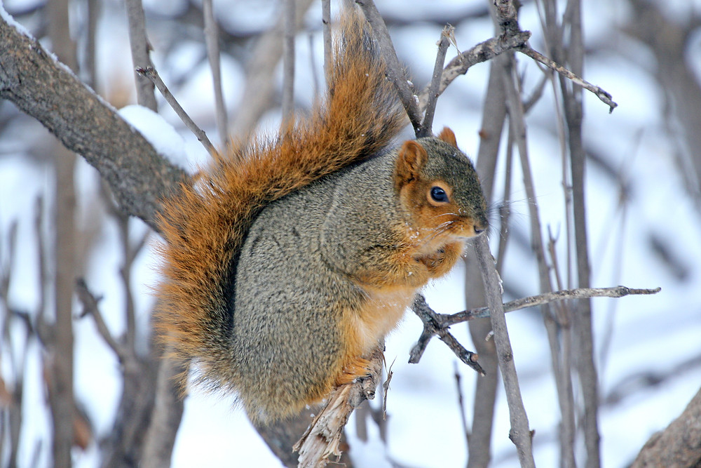 fox squirrel by USFWS