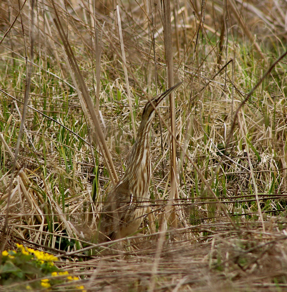 American bittern in concealment pose - photo by Lalay Ohlrogge