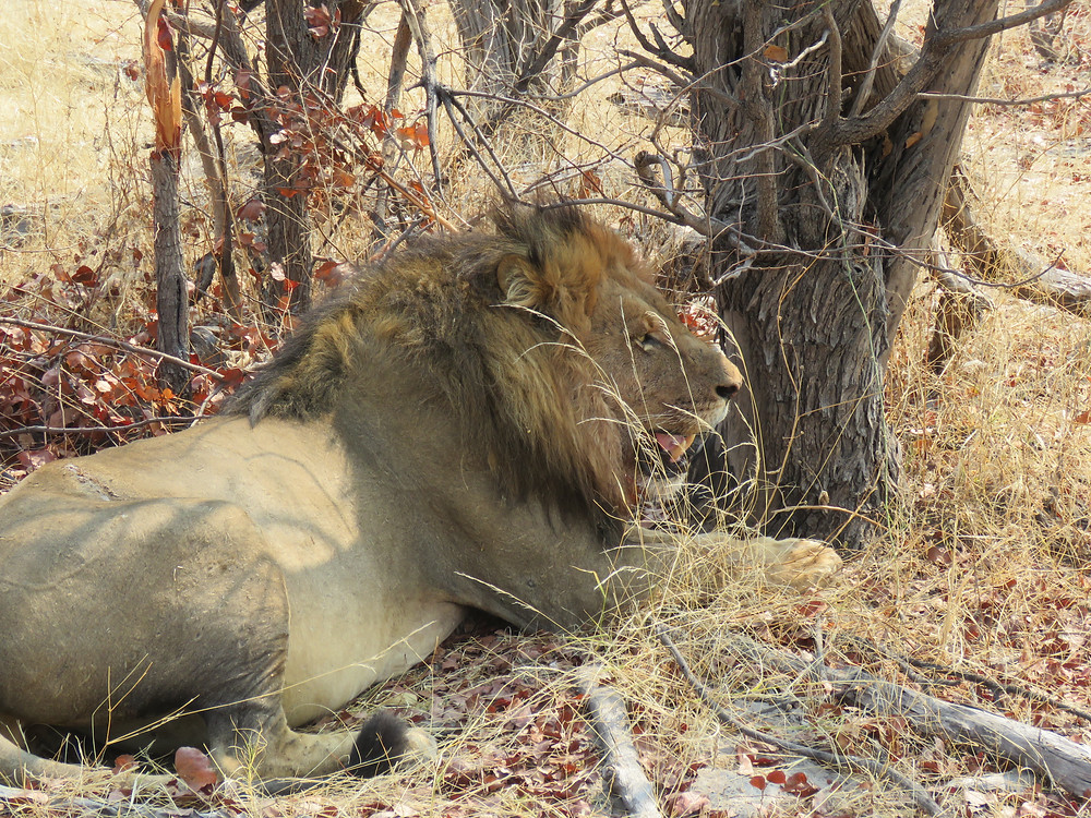 African lion, note the scar visible on the hip - photo by Debra Noell