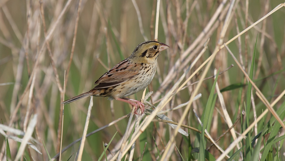 Henslow's sparrow - photo by Dominic Sherony