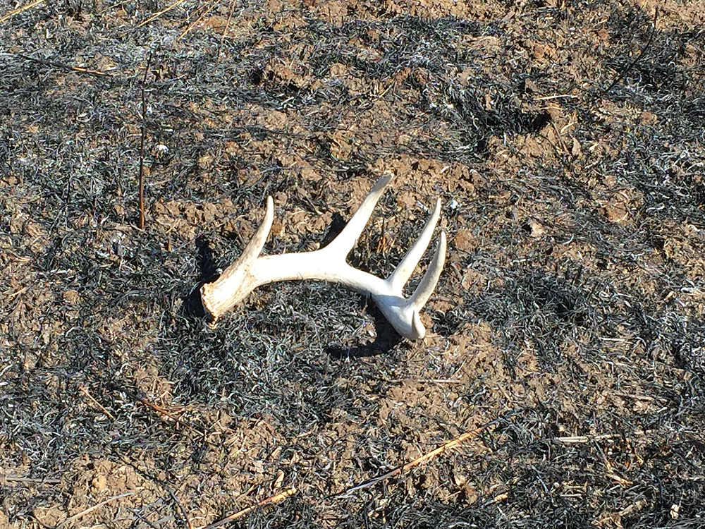 Whitetail deer shed antler