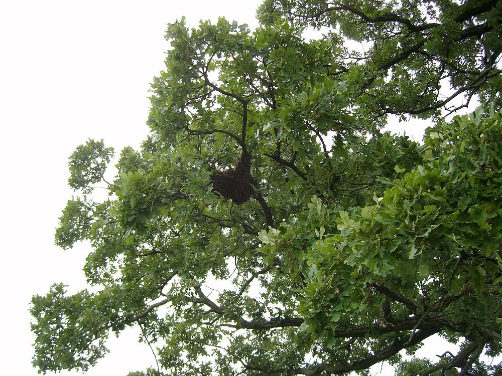 honey bee swarm in bur oak tree