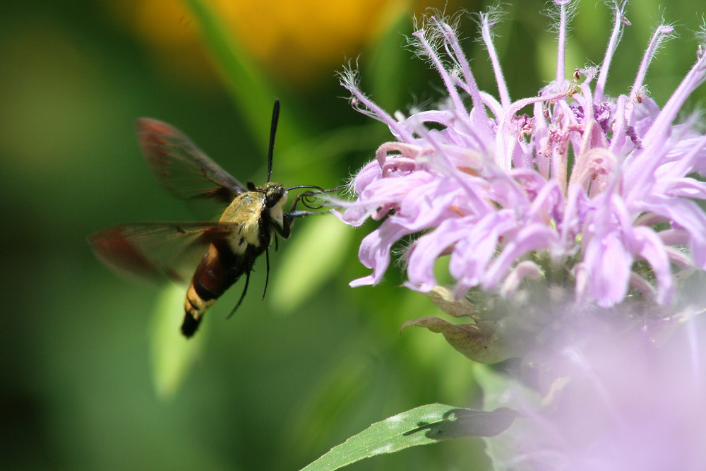 clearwing hummingbird moth - image by USFWS