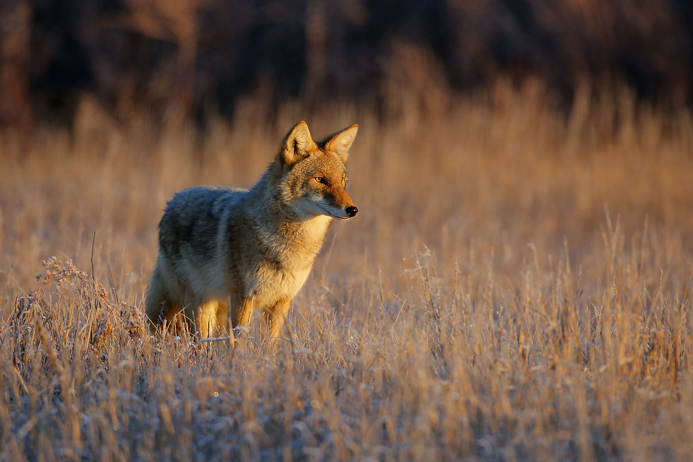 coyote - image by USFWS