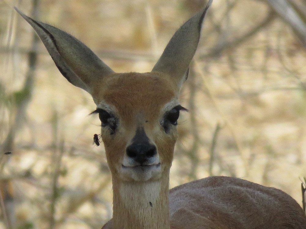 The incredibly cute and tiny steenbok - photo by Debra Noell