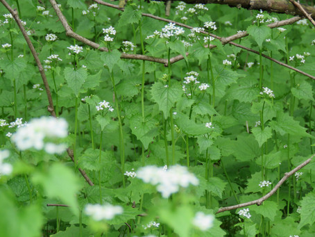 Thirty Years of Garlic Mustard Control