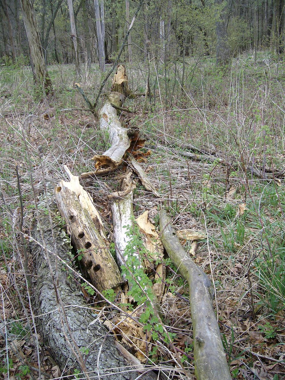 A fallen wildlife tree.