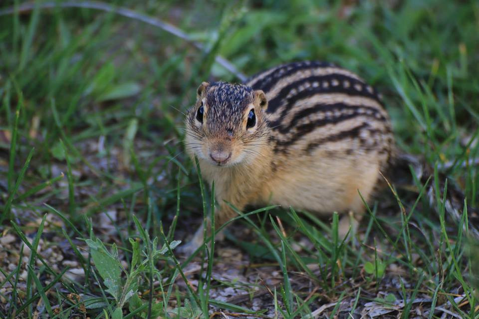thirteen-lined ground squirrel - image by USFWS