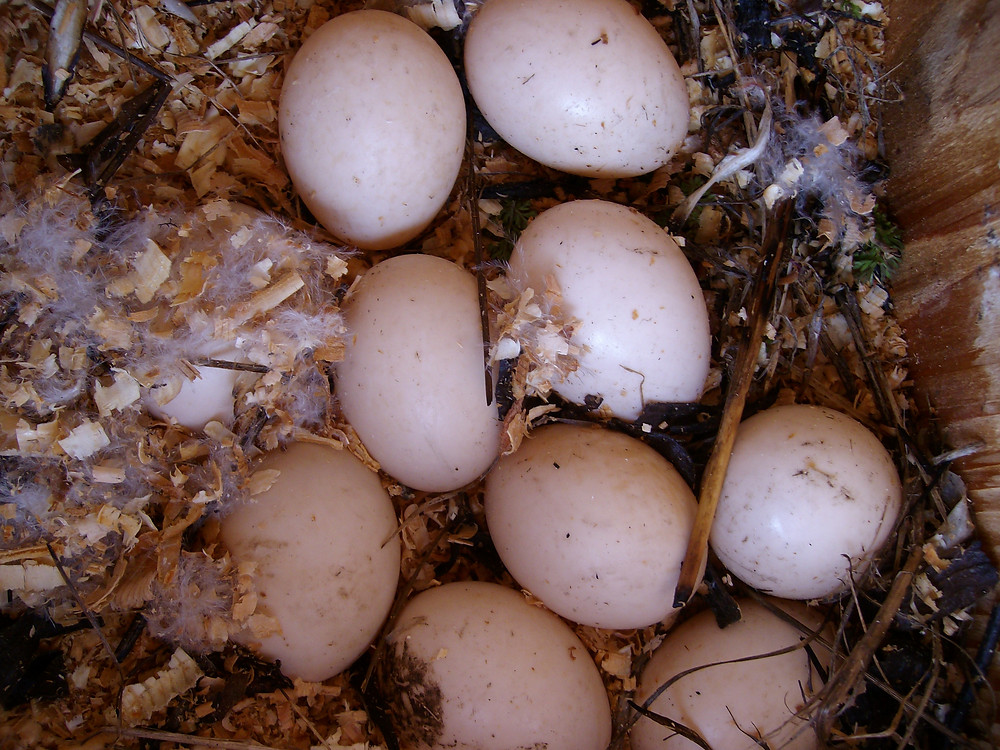 Wood duck eggs immediately after starlings removed all the down feathers.