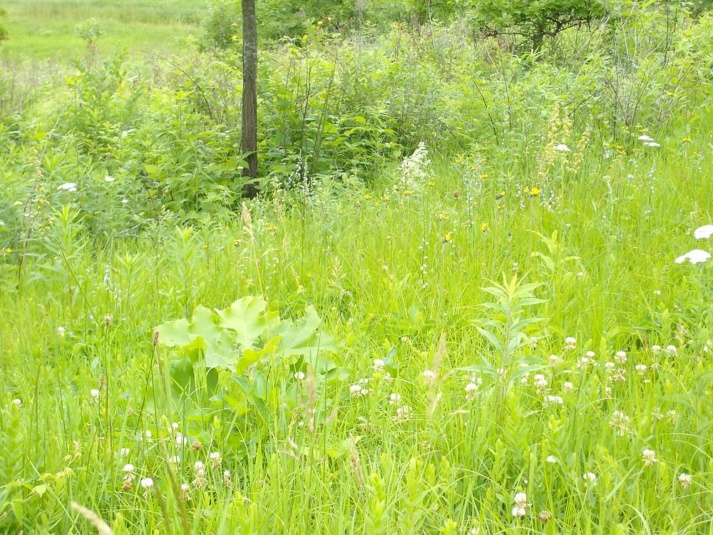 Native prairie flowers intermingled among toadflax plants.