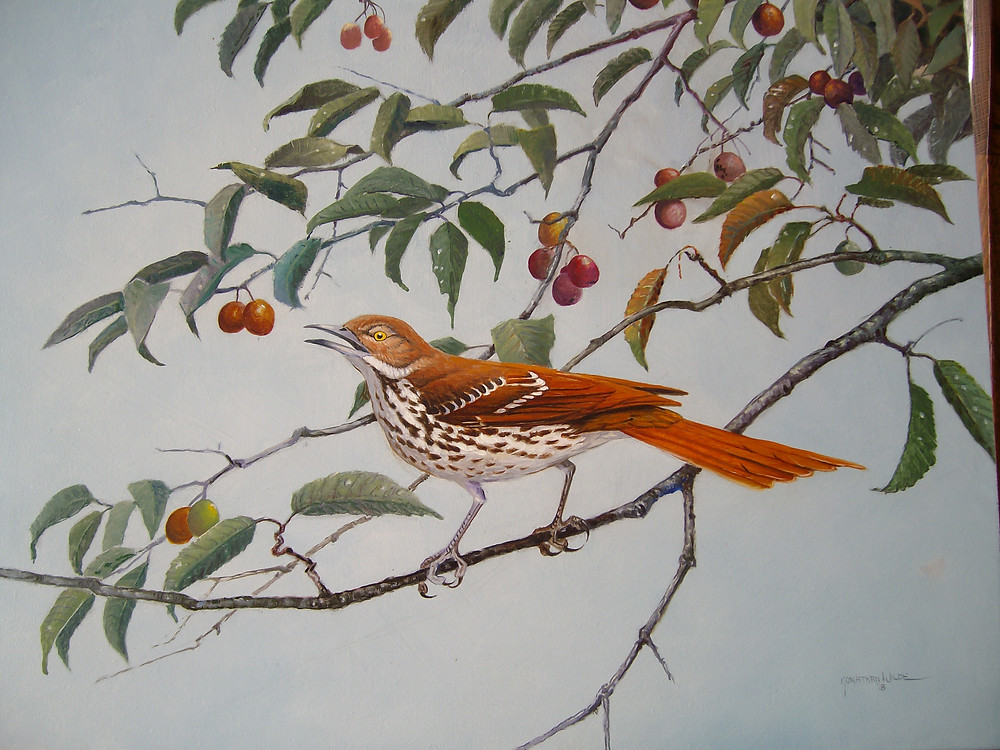 Brown thrasher in wild plum. Oil painting by Jonathan Wilde.