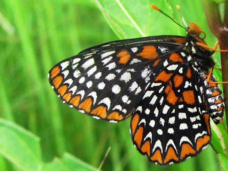 Operation Checkerspot