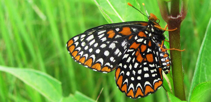 Baltimore checkerspot - image by USFWS