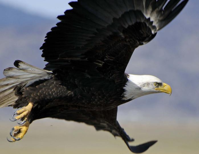 bald eagle - image by USFWS