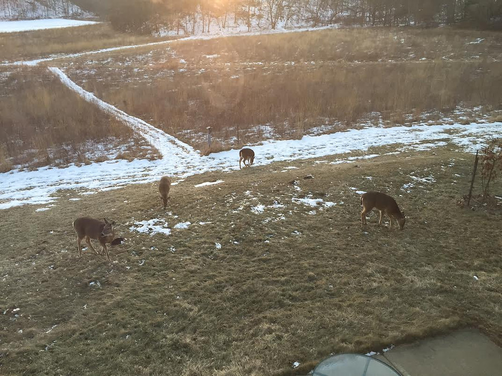 Whitetail deer feeding in yard.