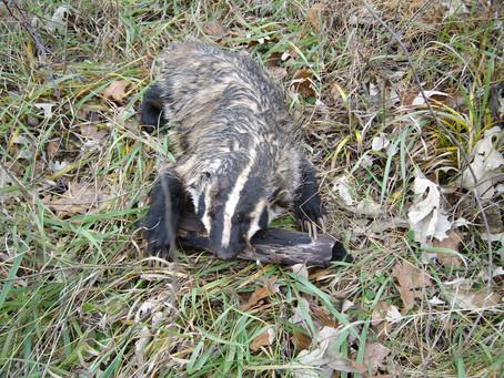 Badger Cogitations
