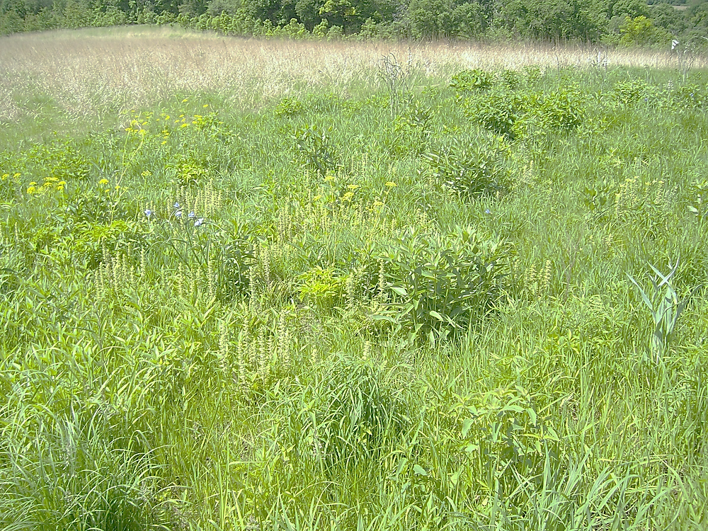 wood betony creates forb diversity in tall grasses