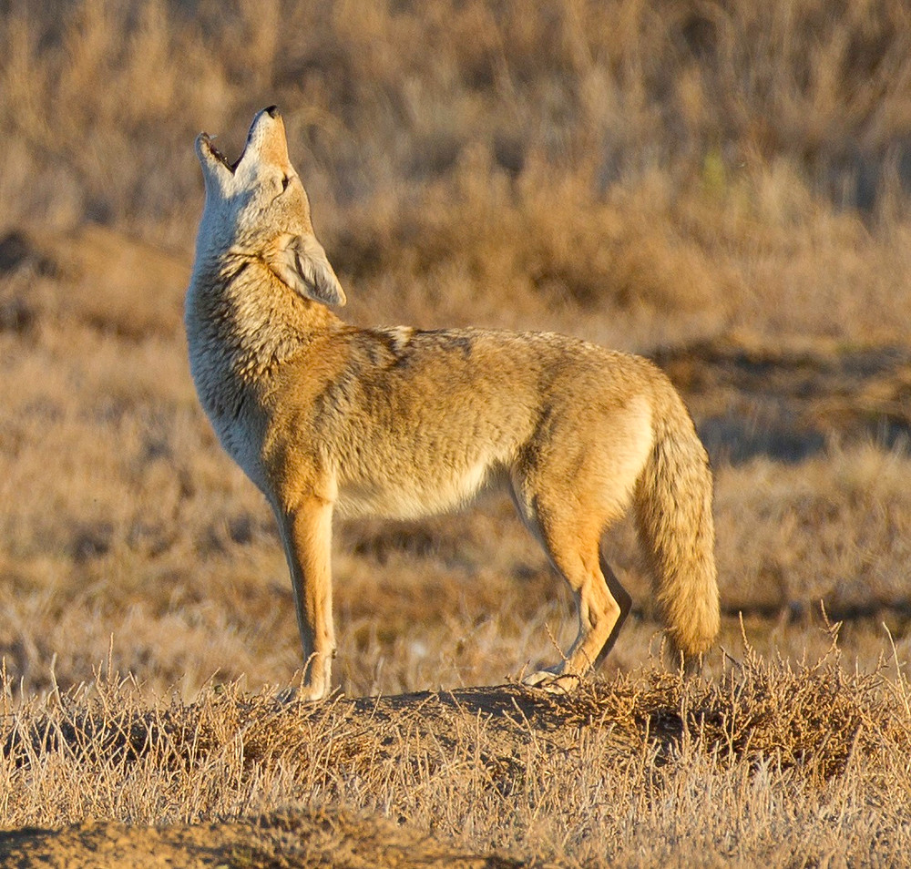 Coyote - photo by USFWS