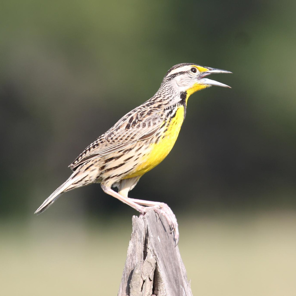 Eastern meadowlark - photo by Alastair Rae