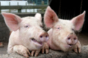 May 2019 - Belgian biotechnology company ViroVet will partner with Researchers at The Pirbright Institute to develop the first antiviral drugs that act against African swine fever (ASF).
