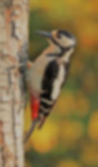 woodpecker-1411082.jpg