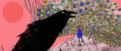peacock-crow-676x284