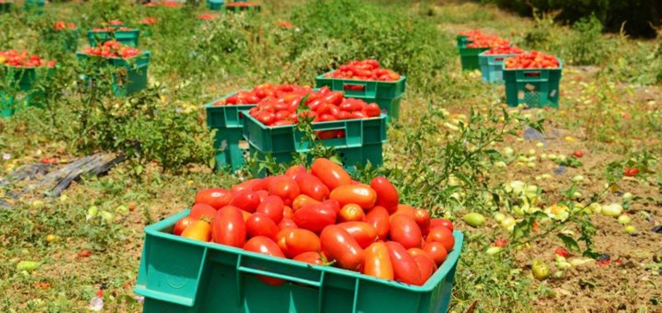 070814154113--Gozo_tomatoes_Alain_Salvary