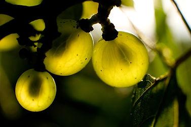 ERLAITZA, Chardonnay