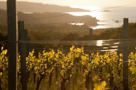 Vignes sur la corniche Basque