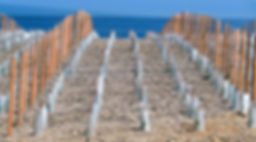Vignes sur les falaises de la Corniche