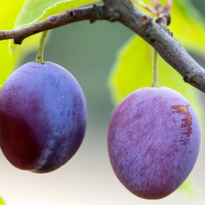 Plum crazy over plums