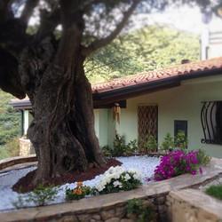 aiuola giardino con olivo