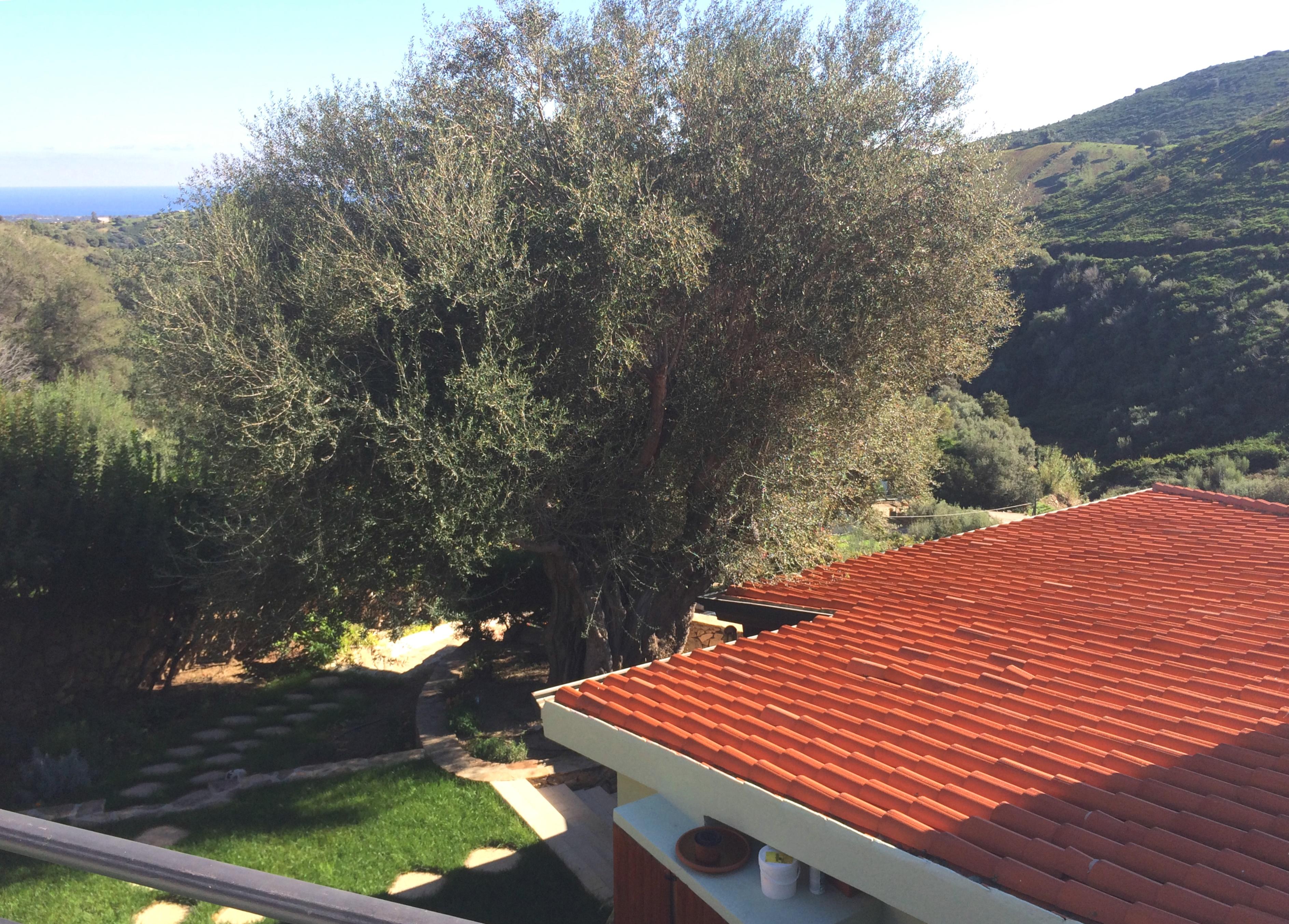 Villa Mariposa_olivo secolare