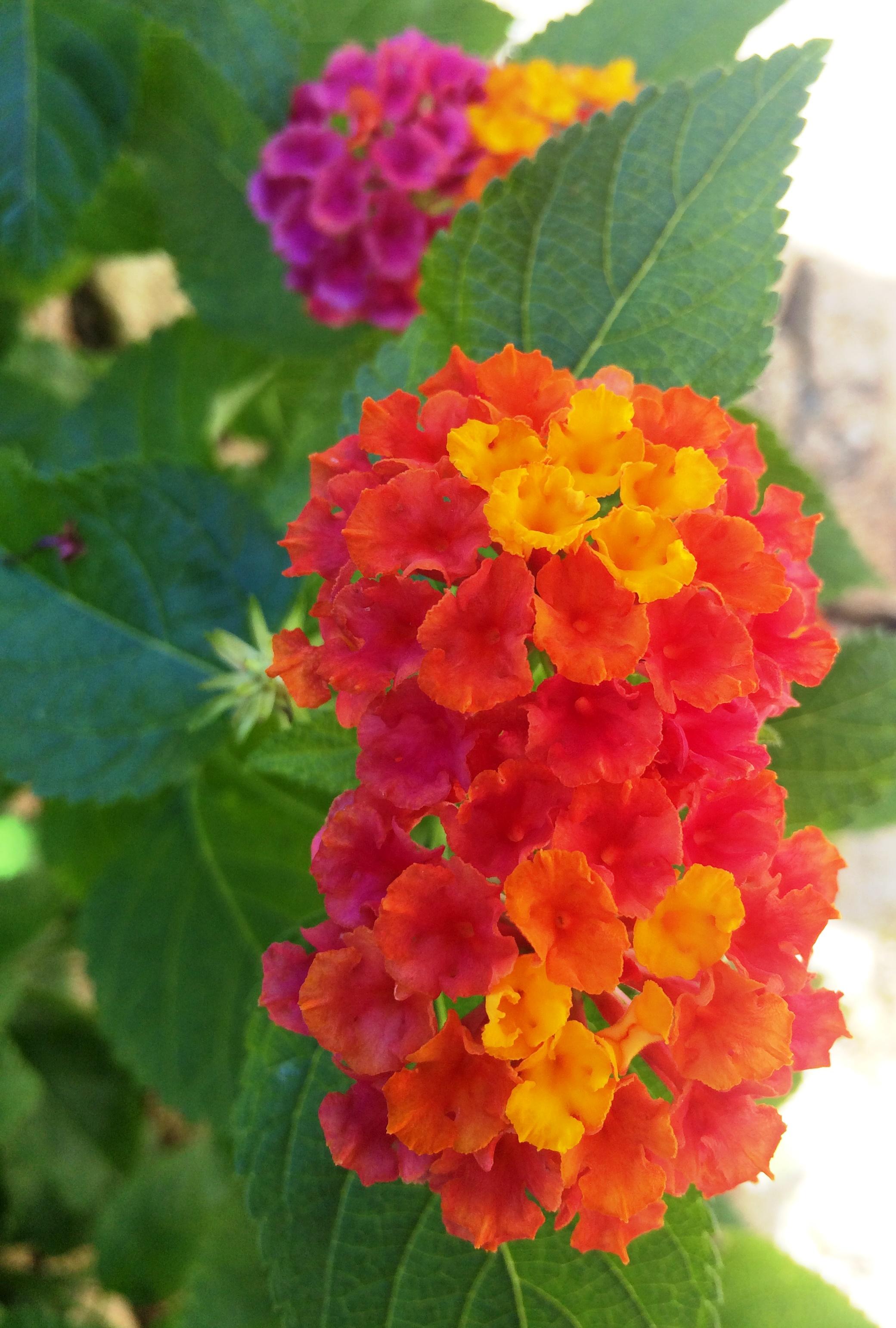 particolare fiore lantana