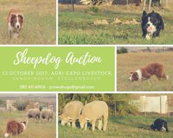 Skaaphond Veiling13 Okt 2017, Agri-Expo Livestock