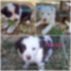 Lombard_pups.jpg
